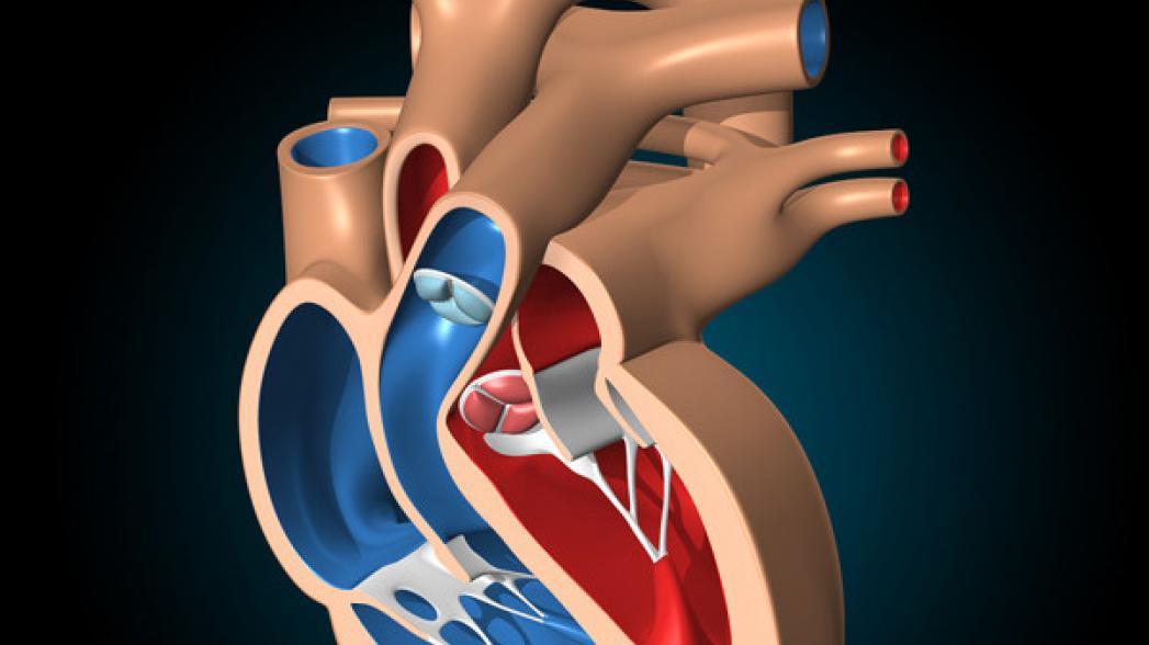 3-D модель сердца